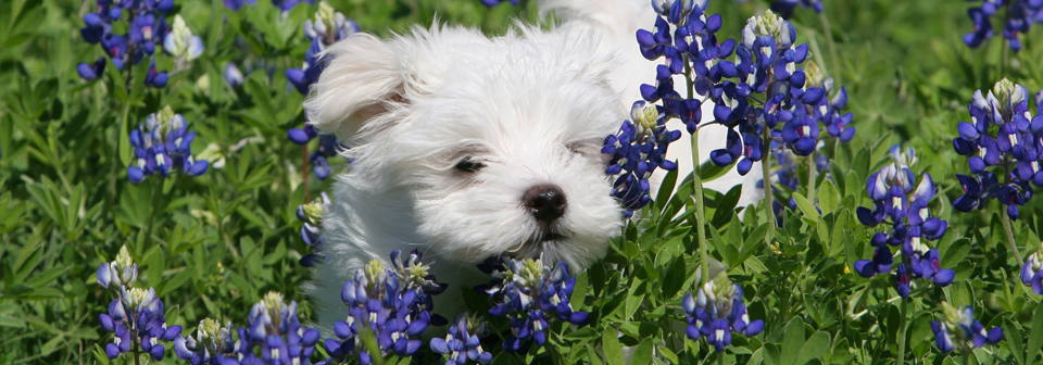 dog in bluebonnets